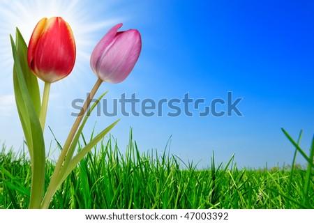 fresh green grass and beautiful tulips - stock photo