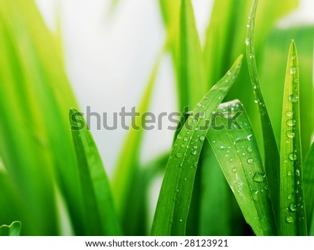 Fresh green grass leaves with dew drops - stock photo