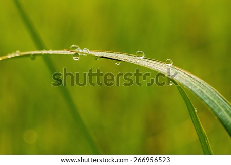 Fresh green  grass leaves with dew drops close up,  of change environment - stock photo