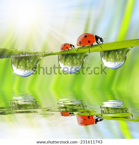 Fresh green grass with dew drops and ladybugs closeup. Natural background.  - stock photo
