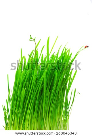 Fresh green grass with water drops and ladybug close up. - stock photo