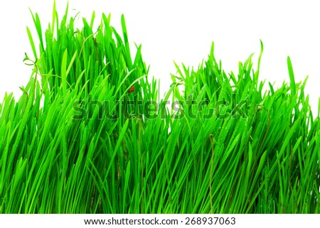 Fresh green grass with water drops close-up. - stock photo