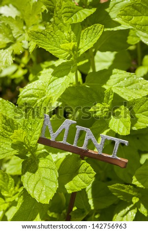 Fresh Green Herbal Mint Leaves in a garden - stock photo