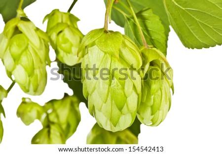 Fresh green hop branch close view - stock photo