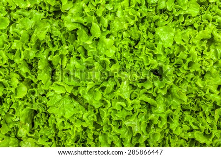 Fresh green leaf lettuce texture - top view of the leaves - stock photo