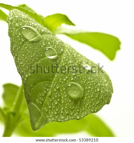 Fresh green leaf of basil with water drops. Soft focus. - stock photo
