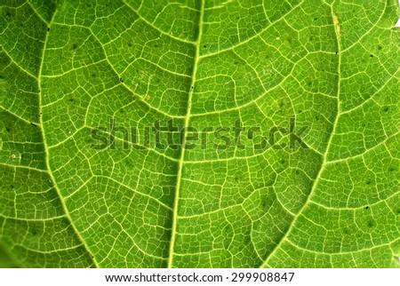 Fresh green leaf texture macro close-up - stock photo