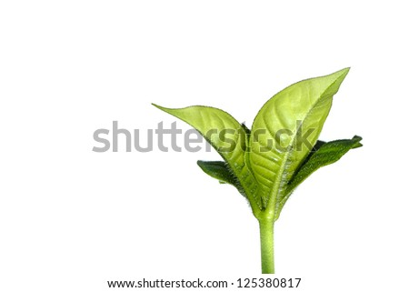 Fresh green leafs growing to show concept of ecology. Isolated on white. - stock photo