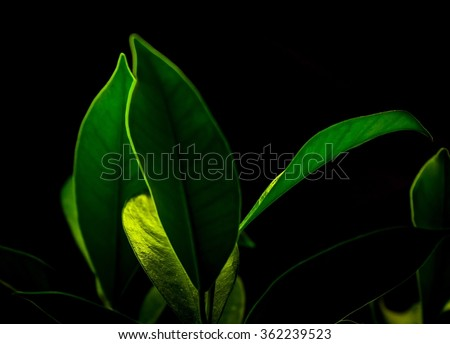 Fresh Green Leaves Isolated on Black Background - stock photo