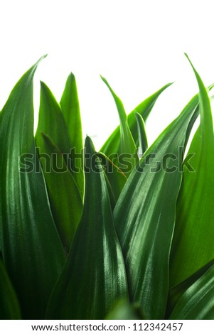 Fresh green leaves isolated over white background - stock photo