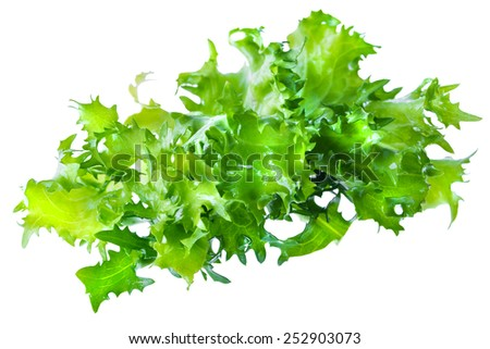 Fresh green leaves of endive frisee chicory salad isolated on white background in macro lense shot - stock photo