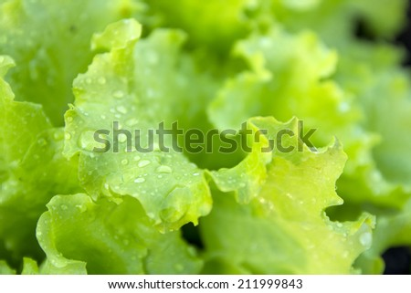 Fresh green leaves of lettuce in an Outdoor Garden - stock photo