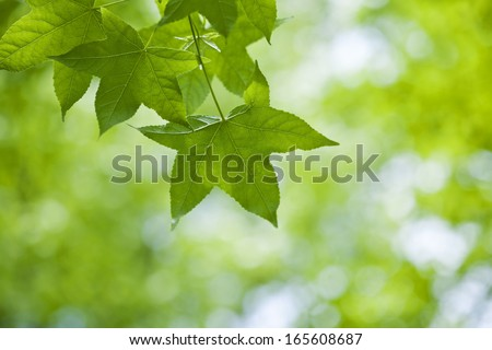 Fresh green leaves of maple  - stock photo