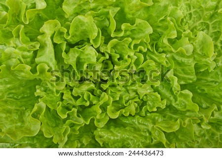 Fresh green lettuce,  background. - stock photo