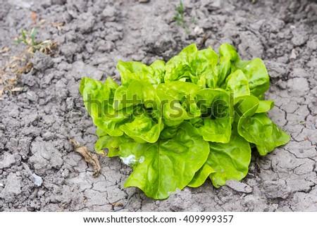 fresh green lettuce growing in vegetable garden  - stock photo