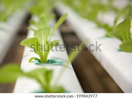 Fresh green Lettuce salad - stock photo
