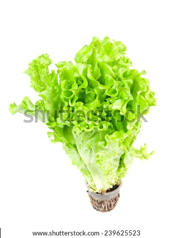 Fresh green lettuce with root isolated on white background - stock photo