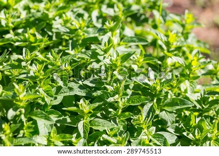 Fresh, green oregano twigs growing in garden. Close up of cuisine herbs - stock photo