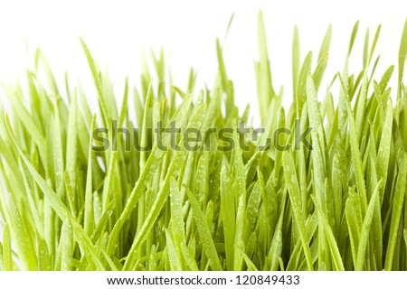 Fresh Green Organic Wheat Grass against a background - stock photo