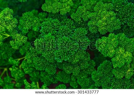 Fresh green parsley - stock photo