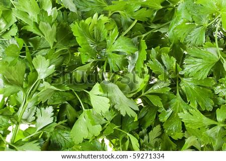 fresh green parsley background - stock photo