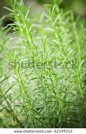 Fresh green rosemary herbs growing in garden - stock photo