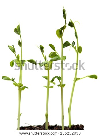 Fresh Green Sprout Peas Isolated On White Background.  - stock photo