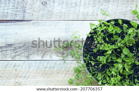 fresh green sprouts with leaves growing at the alluminium pot on the rustic old wooden table - stock photo
