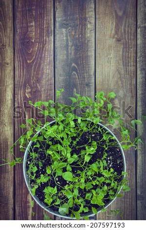 fresh green sprouts with leaves growing at the aluminium pot on the rustic old wooden table - stock photo
