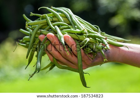 Fresh green string beans held in hand - stock photo