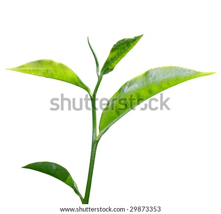 fresh green tea leaf isolated on white background - stock photo
