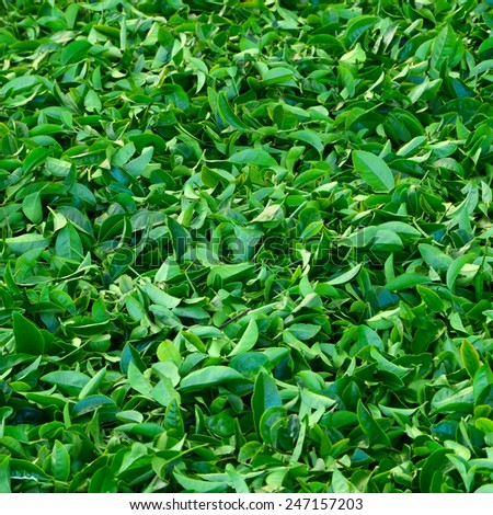 Fresh green tea leaves a lot to be collected from the tea farm. Put together on the floor. - stock photo