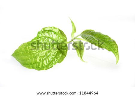 fresh green twig - stock photo
