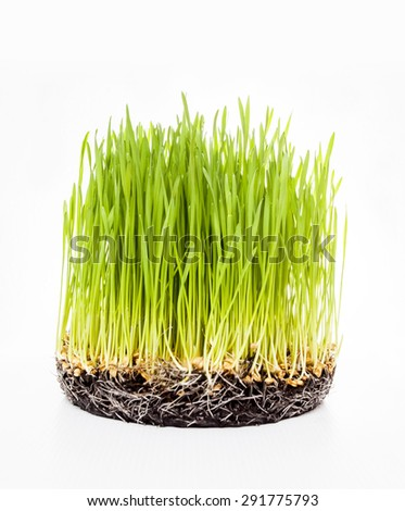 fresh green Wheat grass on white background. Macro with extremely shallow dof - stock photo