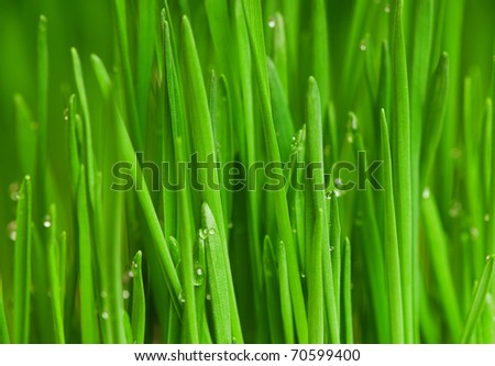 Fresh green wheat grass with drops dew - stock photo