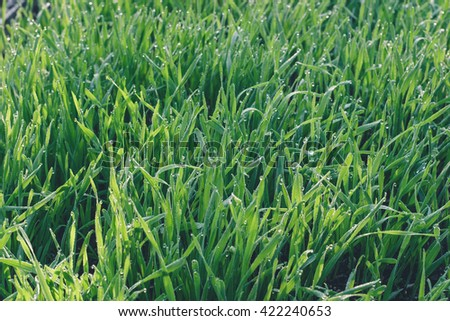 Fresh green wheat grass with drops dew in the morning light - stock photo