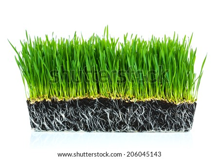 Fresh green wheat grass with roots isolated on white background - stock photo