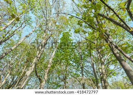 Fresh Green Woodland Tree Baraches Tips On Blue Sky Background - stock photo