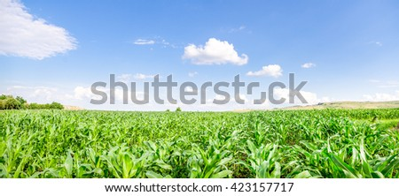 Fresh green young corn field on a sunny day with a blue sky suggesting organic agriculture - stock photo