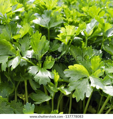 Fresh growing flat leaf parsley background. - stock photo