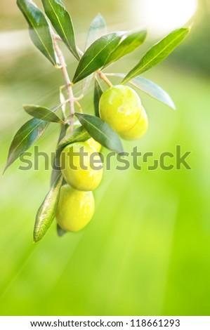 Fresh growing olives - stock photo