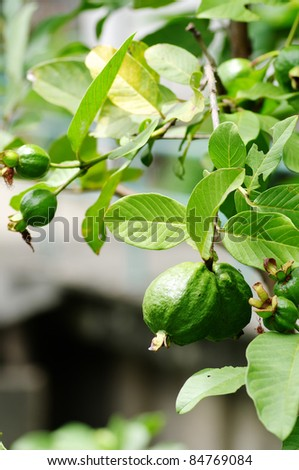 fresh guava on tree - stock photo