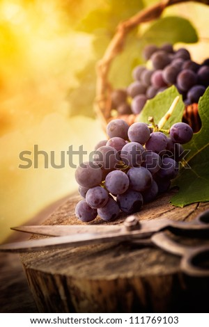 Fresh harvest of grapes. Vineyard theme with black grapes and basket on wooden background. Nature fruit concept. - stock photo
