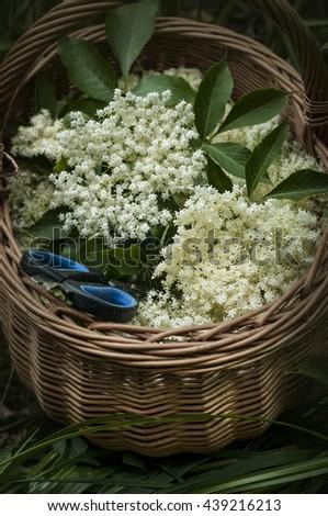 Fresh harvested elderflowers in wicker basket with scissors outside in the garden. Vertical image - stock photo