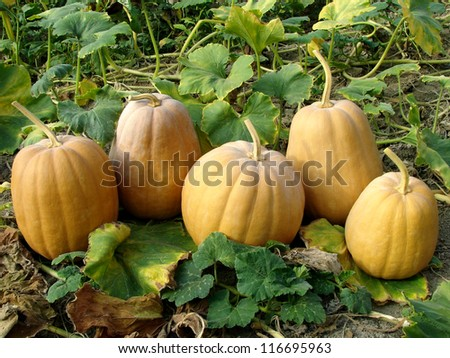 fresh harvested pumpkins among the leaves - stock photo