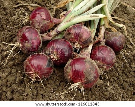 fresh harvested red onion bulbs - stock photo