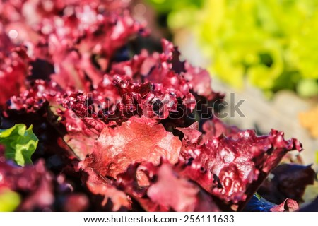 Fresh Healthy Organic Green Leaf Lettuce Ready to Eat - stock photo