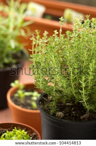 fresh herbs in pots on balcony garden - stock photo