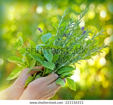 Fresh herbs - spices in hands - stock photo