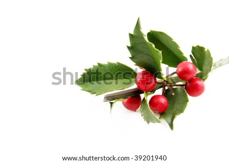 Fresh holly shot on a white background with room for text. - stock photo